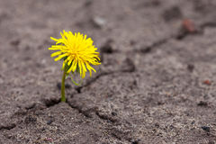 Growing  yellow flower Stock Photography