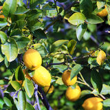 Growing Yellow Lemons with Leaves Royalty Free Stock Photo