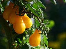 Growing yellow pear tomatoes in afternoon light Stock Image