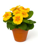 Growing yellow primula flower Royalty Free Stock Photos