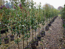 Growing young apples in a nursery Royalty Free Stock Photo