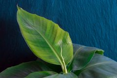 Growing Banana Tree in Blue Rock Background. Growing young banana tree in front of the blue rock background Royalty Free Stock Photo