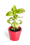 Basil plants Royalty Free Stock Image
