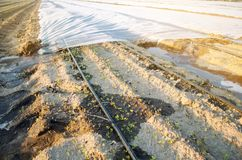 Growing young beets in the field. Drip irrigation. Organic vegetables. Agriculture. Farm. Selective focus. Close-up. Seedlings stock photography