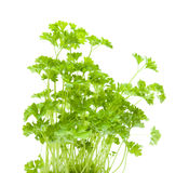 Growing young curley parsley Stock Photos