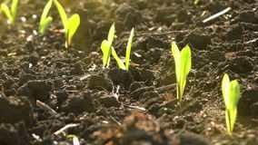 Growing Young Green Maize Corn Seedling Sprouts in Cultivated Agricultural Farm Field stock footage