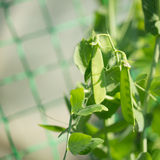 Growing young peas Royalty Free Stock Photography