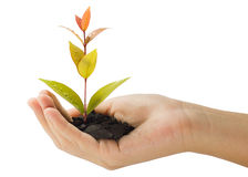 Growing young plant in a hand Royalty Free Stock Photography