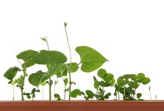 Growing young plant .Isolated. Growing young green plant .Isolated white. Close-up Royalty Free Stock Image