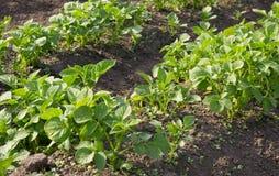 Growing young potato. Stock Image