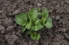 Growing young potatoes in the garden Royalty Free Stock Images