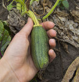 Growing young squash in human hand Royalty Free Stock Image