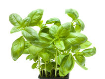 Growing young sweet basil Stock Photos