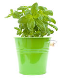 Growing young sweet basil plants Royalty Free Stock Images