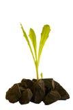 Growingh dalle pietre Fotografie Stock