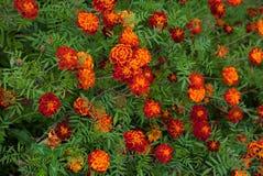 GrowingTagetes Marigold patula flower royalty free stock photos