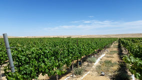 Growith de Vinyards no deserto Imagem de Stock