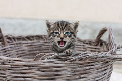 Growl of a kitten Royalty Free Stock Image