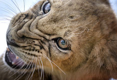 Growl - Lion Cub. A lion cub growling Stock Image