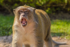 Growl of Monkey Royalty Free Stock Image