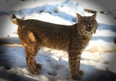 Growling bobcat. Bobcat in winter in the zoo Royalty Free Stock Photo
