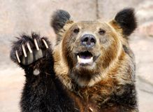 Growling brown bear. Head of the growling brown bear Royalty Free Stock Photography