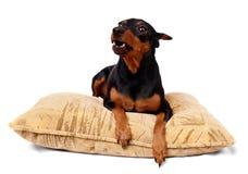 Growling dog. Black Miniature Pinscher growls on the pillow Royalty Free Stock Photo