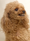 Growling Dog. A growling poodle who looks like she is ready to attack stock photos