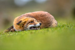 Growling European red fox Royalty Free Stock Images