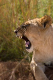 Growling female lion in Africa Stock Images