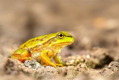 Growling Grass Frog (Litoria raniformis). A rare and threatened but beautiful species of frog, this juvenile was found at the edge of a marshy pond in rural Stock Image