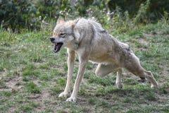 Growling grey wolf