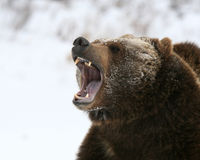 Growling Grizzly Bear stock images