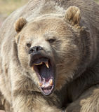 Growling Grizzly Bear. Close up image of a grizzly bear with mouth open, growling and snarling Stock Image