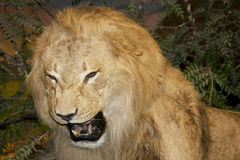 Growling lion Royalty Free Stock Image