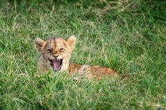 Growling lion cub in the Masai Mara. Young lion cub laying in the cool green grass of the Masai Mara, Kenya. Cute baby parcticing a roar or growl but not looking stock photo