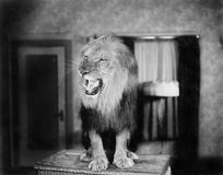 Growling lion in a living room Royalty Free Stock Photography
