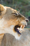 Growling lioness Stock Images