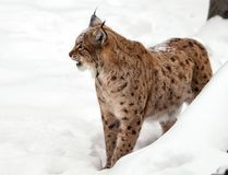 Growling Lynx on the whit background. Growling Lynx with grin on the white snow background in winter Royalty Free Stock Images