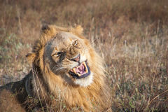 Growling male Lion. Stock Photos