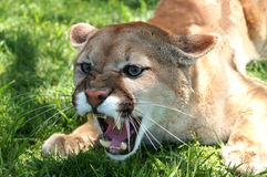 Growling Mt lion. A hungry mt lion growling in anger stock photography