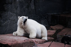 Growling polar bear Royalty Free Stock Photo