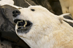 Growling polor bear. Polar bear close up showing teeth and growling royalty free stock photography