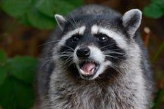 Growling Raccoon Royalty Free Stock Photos