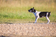 Growling Rat Terrier puppy Stock Image