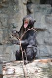 Growling sun bear. A male sun bear plays with a small branch Stock Photography