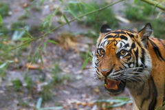 Growling tiger. Looking towards camera with soft focus background Royalty Free Stock Photo