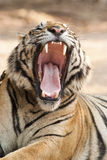 Growling tiger. A tiger is growling with its mouth wid open Stock Images