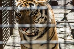 Growling, tiger in a cage, rescue, animal protection, safety, SOS royalty free stock photo