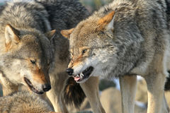 Growling wolf Stock Images